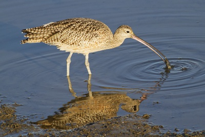 Long-Billed Curlew Catchs a Clam Photographic Print by Hal Beral