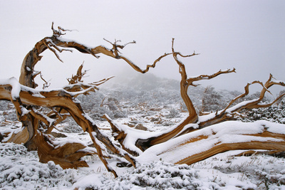 Snow Covered Bristlecone Pine on Mount Goliath Photographic Print by W. Perry Conway