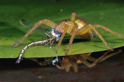 Six-Spotted Fishing Spider Eating Damselfly Photographic Print by Joe McDonald