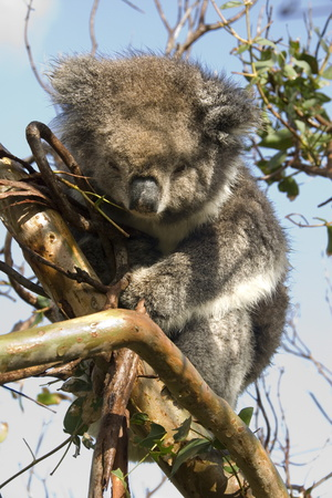 Koala in the Wild, in a Gum Tree at Cape Otway, Great Ocean Road, Victoria, Australia, Pacific Photographic Print by Tony Waltham