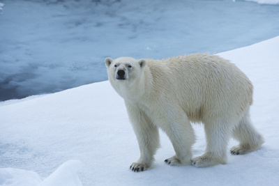 Polar Bear on Ice Yukon Photographic Print by  Nosnibor137