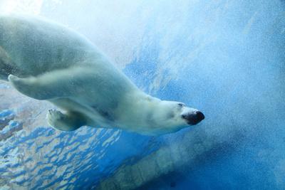 Underwater Photo of a Polar Bear Photographic Print by  Zigi