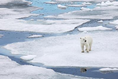 Polar Bear in Natural Environment Photographic Print by  zanskar