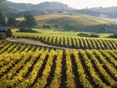 Vineyard at Domaine Carneros Winery, Sonoma Valley, California, USA Photographic Print by Green Light Collection
