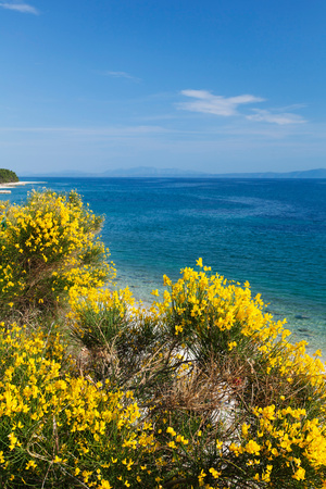 Flowering Broom at Coastal Landscape, Makarska Riviera, Dalmatia, Croatia Photographic Print by Green Light Collection