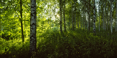 Birch Trees in a Forest, Lappeenranta, South Karelia, Southern Finland, Finland Fotografisk tryk af Panoramic Images,