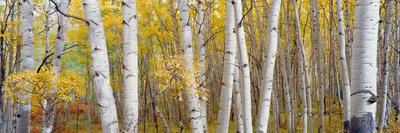 Aspen Trees in a Forest, Colorado, USA Photographic Print by  Panoramic Images