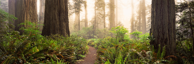 Redwood Trees in a Forest, Redwood National Park, California, USA Photographic Print by  Panoramic Images