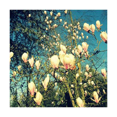 Blooming Magnolia Tree Prints by Alaya Gadeh