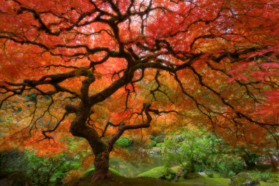 Japanese Maple Art by  Lantern Press