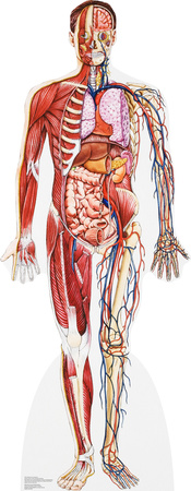 Anatomy Cross Section Lifesize Standup Cardboard Cutouts