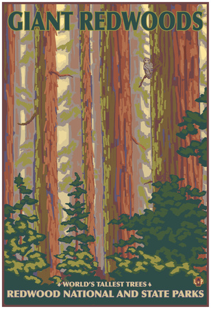 Giant Redwoods, Redwood National Park, California Posters