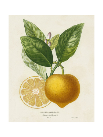 French Lemon Botanical III Prints by A. Risso
