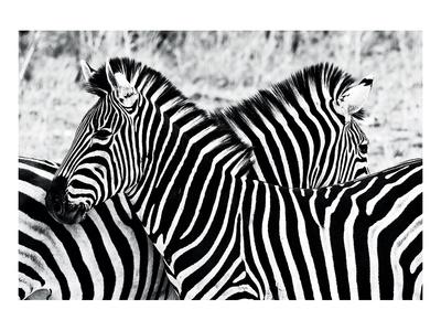 Zebras at Dawn Prints