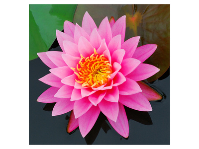 Pink Lotus Flower in Pond Posters