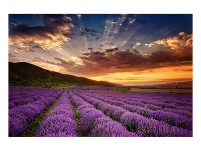 Lavender Field at Sunrise Poster