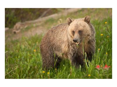 Grizzly At Lake Louise Prints