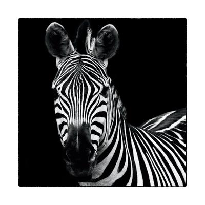 Zebra II Square Prints by Debra Van Swearingen