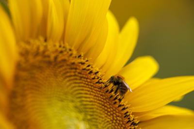 Italy, Friuli Venezia Giulia, Bee on a Sunflower Photographic Print by Daniele Pantanali