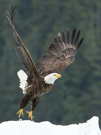 A Bald Eagle Takes Flight Near Petersburg, Inside Passage, Alaska Photographic Print by Michael Melford