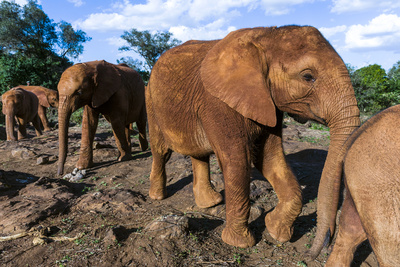 A Herd of Orphaned African Elephant Calves Learn About Life in the Wild Photographic Print by Jason Edwards