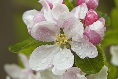Cox's Orange Pippin Apple Blossom in Flower in April, Bishopsteignton, Devon, England Photographic Print by Nigel Hicks