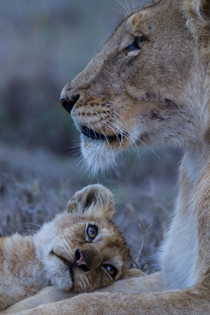 A Lion Cub Looks Up at its Mother 写真プリント : マイケル・ニコルズ