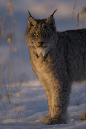 Twilight Portrait of a Canadian Lynx, Lynx Canadensis, in Snow Photographic Print by Michael S. Quinton
