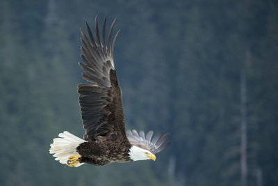 A Bald Eagle in Flight Near Petersburg, Inside Passage, Alaska Photographic Print by Michael Melford
