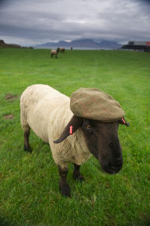 A Suffolk Sheep in a Tweed Cap Made from Suffolk Sheep Wool Fotoprint av Jim Richardson