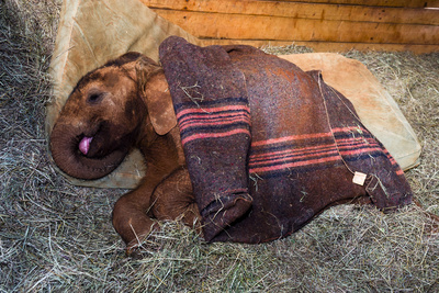 An Orphaned African Elephant Calf Sleeping Beneath a Blanket Photographic Print by Jason Edwards