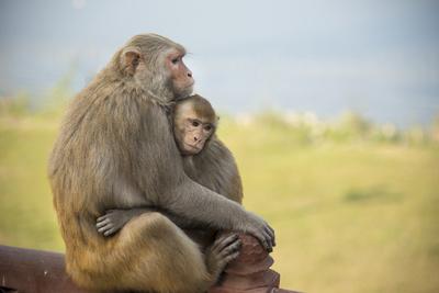 Monkeys Cuddling at the Taj Mahal Photographic Print by Michael Melford