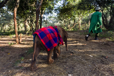 An Orphaned African Elephant with a Sleeping Blanket Follows a Carer Through the Forest Photographic Print by Jason Edwards