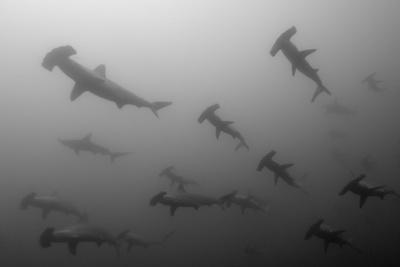Scalloped Hammerhead Sharks, Sphyrna Lewini, Swimming Fotografie-Druck von Jeff Wildermuth