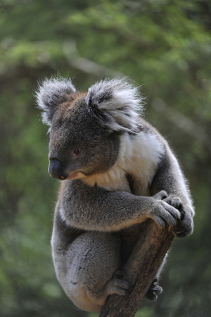 A Federally Threatened Koala at a Wildlife Sanctuary Photographic Print by Joel Sartore