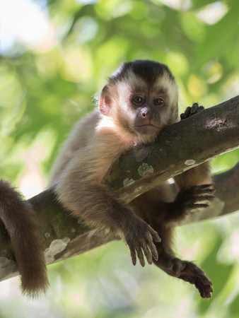 A Young Black Capped Capuchin Monkey Rests on a Tree Lámina fotográfica por Alex Saberi