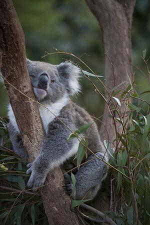 A Federally Threatened Koala at a Wildlife Sanctuary Photographic Print by Joel Sartore
