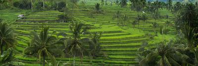 The Jatiluwih Rice Terraces Fotoprint av Jim Richardson