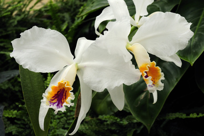 Close Up of Two Cattleya Orchids Photographic Print by Darlyne A. Murawski