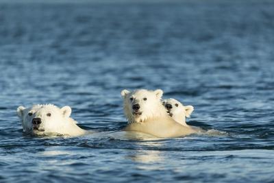 Polar Bear Cubs Swimming, Hudson Bay, Nunavut, Canada Photographic Print by Paul Souders