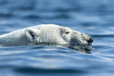 Polar Bear Swimming in Hudson Bay, Nunavut, Canada Photographic Print by Paul Souders