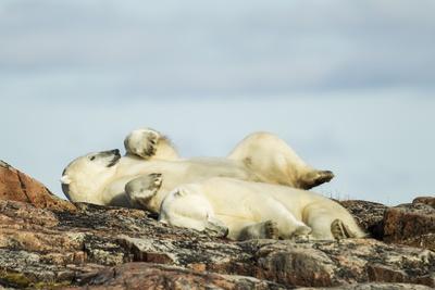 Polar Bears Sleeping on Harbour Islands, Hudson Bay, Nunavut, Canada Photographic Print by Paul Souders