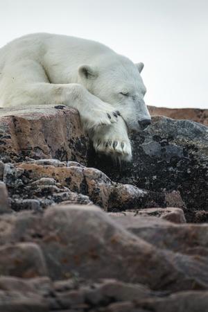 Polar Bear Sleeping along Hudson Bay, Nunavut, Canada Photographic Print by Paul Souders