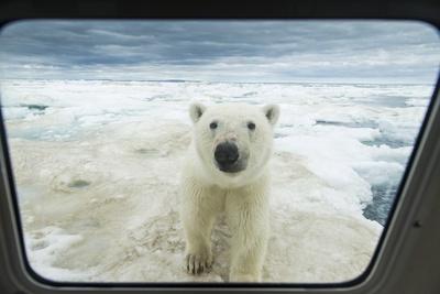 Polar Bear Looking into Boat Window, Nunavut, Canada Photographic Print by Paul Souders