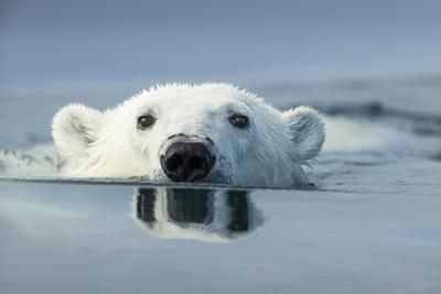 Swimming Polar Bear, Hudson Bay, Nunavut, Canada Photographic Print by Paul Souders