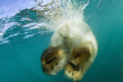 Underwater View of Swimming Polar Bear, Nunavut, Canada Photographic Print by Paul Souders