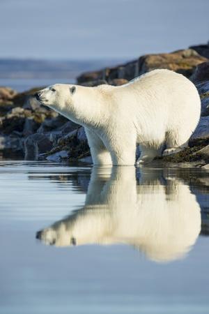 Polar Bear on Harbour Islands, Hudson Bay, Nunavut, Canada Photographic Print by Paul Souders
