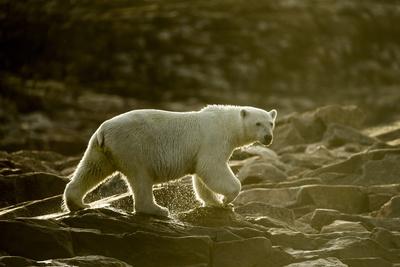 Polar Bear Walking along Hudson Bay, Nunavut, Canada Photographic Print by Paul Souders