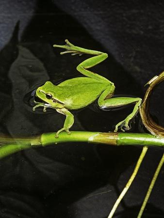 Hyla Meridionalis (Mediterranean Tree Frog) - in Water Photographic Print by Paul Starosta