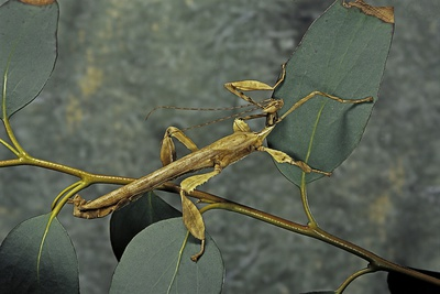 Extatosoma Tiaratum (Giant Prickly Stick Insect) - Male Photographic Print by Paul Starosta